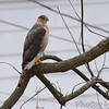 Cooper's Hawk <br /> Bridgeton, Mo. <br /> 03/20/2013 <br /> 2:07pm