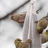 Common Redpoll <br /> and American Goldfinch <br /> Bridgeton, Mo. <br /> 03/05/2013