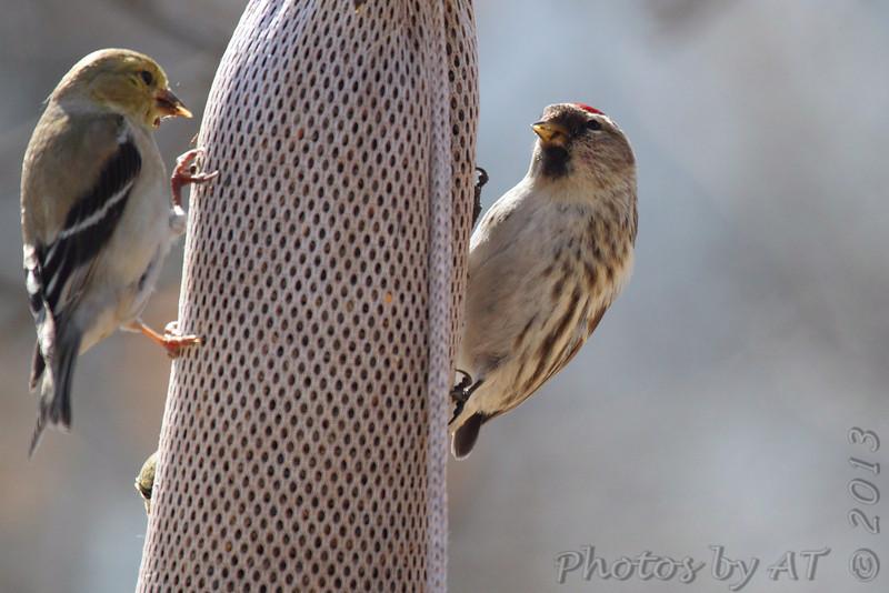 Common Redpoll (female) <br /> Bridgeton, Mo. <br /> 03/12/2013