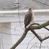 Cooper's Hawk <br /> Bridgeton, Mo. <br /> 03/20/2013 <br /> 2:06pm