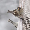 Common Redpoll <br /> Bridgeton, Mo. <br /> 03/02/2013