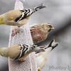 Common Redpoll (male) <br /> Bridgeton, Mo. <br /> 03/09/2013