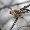 Common Redpoll <br /> Bridgeton, Mo. <br /> 03/05/2013