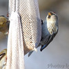 Common Redpoll (female) <br /> and American Goldfinch <br /> Bridgeton, Mo. <br /> 03/06/2013