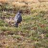 Cooper's Hawk <br /> Bridgeton, Mo. <br /> 03/15/2013 <br /> 9:13am