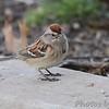 American Tree Sparrow <br /> Bridgeton, Mo. <br /> 03/08/2013
