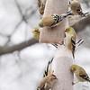 Common Redpoll (M & F)<br /> and American Goldfinches<br /> Bridgeton, Mo. <br /> 03/04/2013