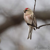 Common Redpoll (male) <br /> Bridgeton, Mo. <br /> 03/06/2013