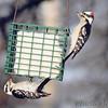 Downy Woodpeckers <br /> Bridgeton, Mo. <br /> 03/19/2013  <br /> 8:02am