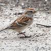 American Tree Sparrow <br /> Bridgeton, Mo. <br /> 03/14/2013 <br /> 12:54pm