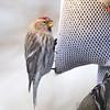 Common Redpoll (female) <br /> Bridgeton, Mo. <br /> 03/19/2013  <br /> 7:55am