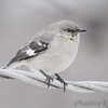 Northern Mockingbird <br /> Bridgeton, Mo. <br /> 03/02/2013
