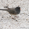 Dark-eyed Junco (Cassiar) <br /> (Rocky Mountain Junco) <br /> Shot thru basement door <br /> Bridgeton, Mo. <br /> 03/21/2013<br /> 5:27pm
