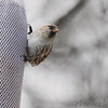 Common Redpoll (female) <br /> Bridgeton, Mo. <br /> 03/20/2013 <br /> 10:04am