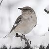 Northern Mockingbird <br /> Bridgeton, Mo. <br /> 03/24/2013 <br /> 11:42am