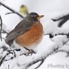American Robin <br /> Bridgeton, Mo. <br /> 03/24/2013 <br /> 11:40am