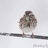 Song Sparrow <br /> Bridgeton, Mo. <br /> 03/24/2013 <br /> 4:13pm