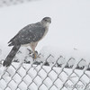 Cooper's Hawk <br /> Bridgeton, Mo. <br /> 03/24/2013 <br /> 11:51am