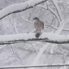 Cooper's Hawk <br /> Bridgeton, Mo. <br /> 03/24/2013 <br /> 11:53am
