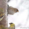 Common Redpoll <br /> and American Goldfinch <br /> Bridgeton, Mo. <br /> 03/24/2013 <br /> 4:32PM