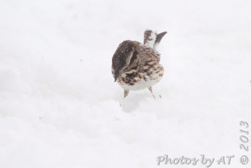 Song Sparrow <br /> Bridgeton, Mo. <br /> 03/24/2013 <br /> 3:54pm