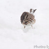 Song Sparrow <br /> Bridgeton, Mo. <br /> 03/24/2013 <br /> 3:54pm