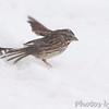 Song Sparrow <br /> Bridgeton, Mo. <br /> 03/24/2013 <br /> 3:51pm