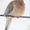 Mourning Dove <br /> Bridgeton, Mo. <br /> 03/24/2013 <br /> 4:20pm