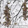 American Goldfinch <br /> Bridgeton, Mo. <br /> 03/24/2013 <br /> 4:28pm