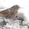 Fox Sparrow <br /> Bridgeton, Mo. <br /> 03/24/2013 <br /> 3:51pm