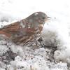 Fox Sparrow <br /> Bridgeton, Mo. <br /> 03/24/2013 <br /> 3:51pm