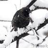 Rusty Blackbird <br /> Bridgeton, Mo. <br /> 03/24/2013 <br /> 11:19am