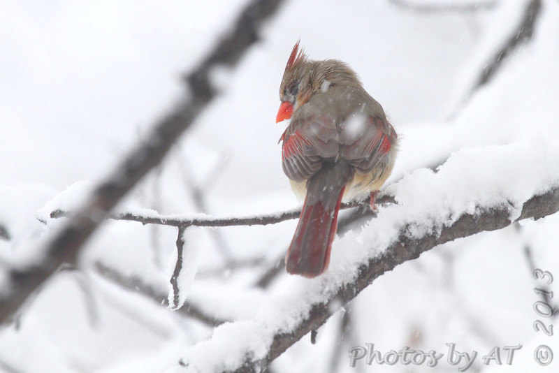 Northern Cardinal <br /> Bridgeton, Mo. <br /> 03/24/2013 <br /> 12:33pm