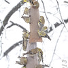 American Goldfinch <br /> Bridgeton, Mo. <br /> 03/24/2013 <br /> 4:26pm