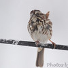 Song Sparrow <br /> Bridgeton, Mo. <br /> 03/24/2013 <br /> 4:14pm