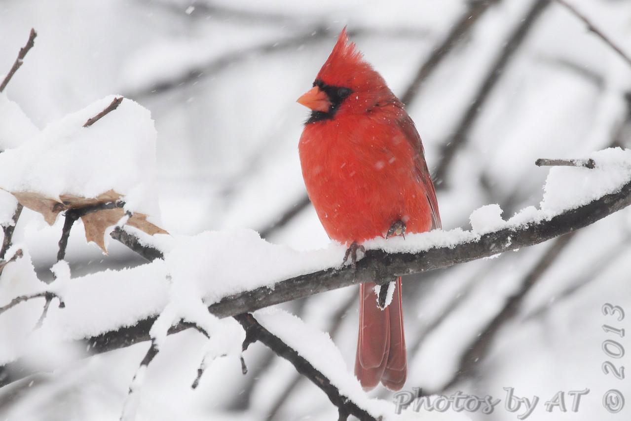 Northern Cardinal <br /> Bridgeton, Mo. <br /> 03/24/2013 <br /> 1:31pm