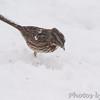 Song Sparrow <br /> Bridgeton, Mo. <br /> 03/24/2013 <br /> 3:52pm