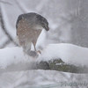 Cooper's Hawk <br /> Bridgeton, Mo. <br /> 03/24/2013 <br /> 11:59am