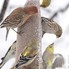 Common Redpoll <br /> American Goldfinch and House Finch <br /> Bridgeton, Mo. <br /> 03/24/2013 <br /> 4:32pm