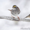 White-throated Sparrow <br /> Bridgeton, Mo. <br /> 03/24/2013 <br /> 2:40pm
