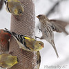 Common Redpoll <br /> American Goldfinch and House Finch <br /> Bridgeton, Mo. <br /> 03/24/2013 <br /> 4:33pm