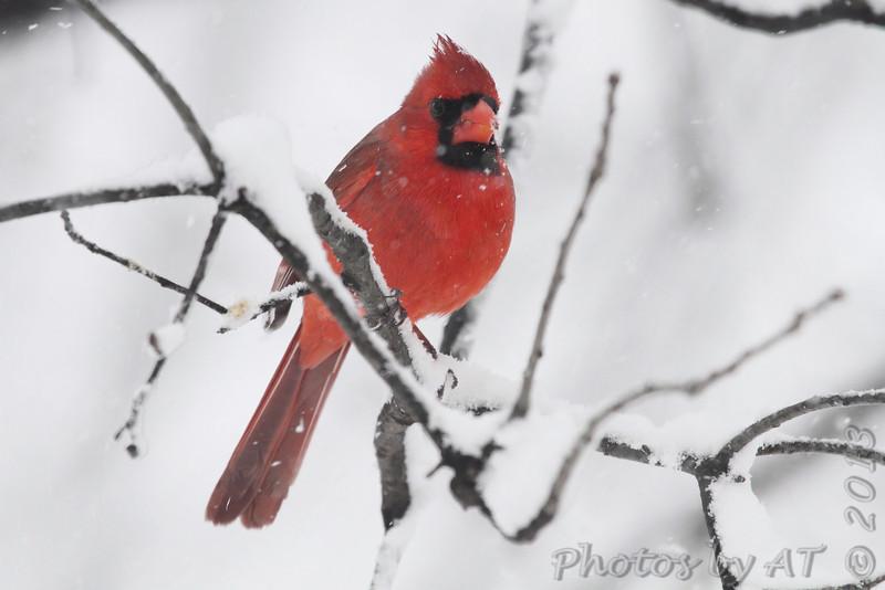 Northern Cardinal <br /> Bridgeton, Mo. <br /> 03/24/2013 <br /> 1:01pm