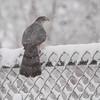 Cooper's Hawk <br /> Bridgeton, Mo. <br /> 03/24/2013 <br /> 11:50am