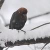 Brown-headed Cowbird <br /> Bridgeton, Mo. <br /> 03/24/2013 <br /> 11:18am
