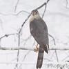 Cooper's Hawk <br /> Bridgeton, Mo. <br /> 03/24/2013 <br /> 11:08am