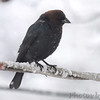 Brown_headed Cowbird <br /> Bridgeton, Mo. <br /> 03/24/2013 <br /> 4:35pm