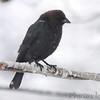 Brown_headed Cowbird <br /> Bridgeton, Mo. <br /> 03/24/2013 <br /> 4:35pm