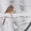 Northern Cardinal <br /> Bridgeton, Mo. <br /> 03/24/2013 <br /> 11:45am