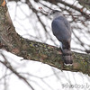 Cooper's Hawk <br /> City of Bridgeton <br /> St. Louis County, Missouri  <br /> 03-27-2013<br /> 5:04pm