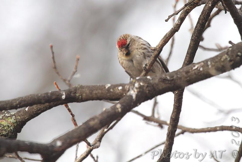 Common Redpoll (female) <br /> City of Bridgeton <br /> St. Louis County, Missouri <br /> 03-30-2013 <br /> 9:00am